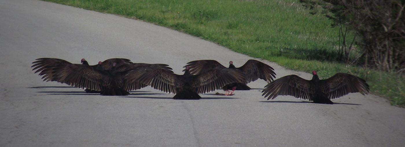 Turkey Vultures Horaltic Pose